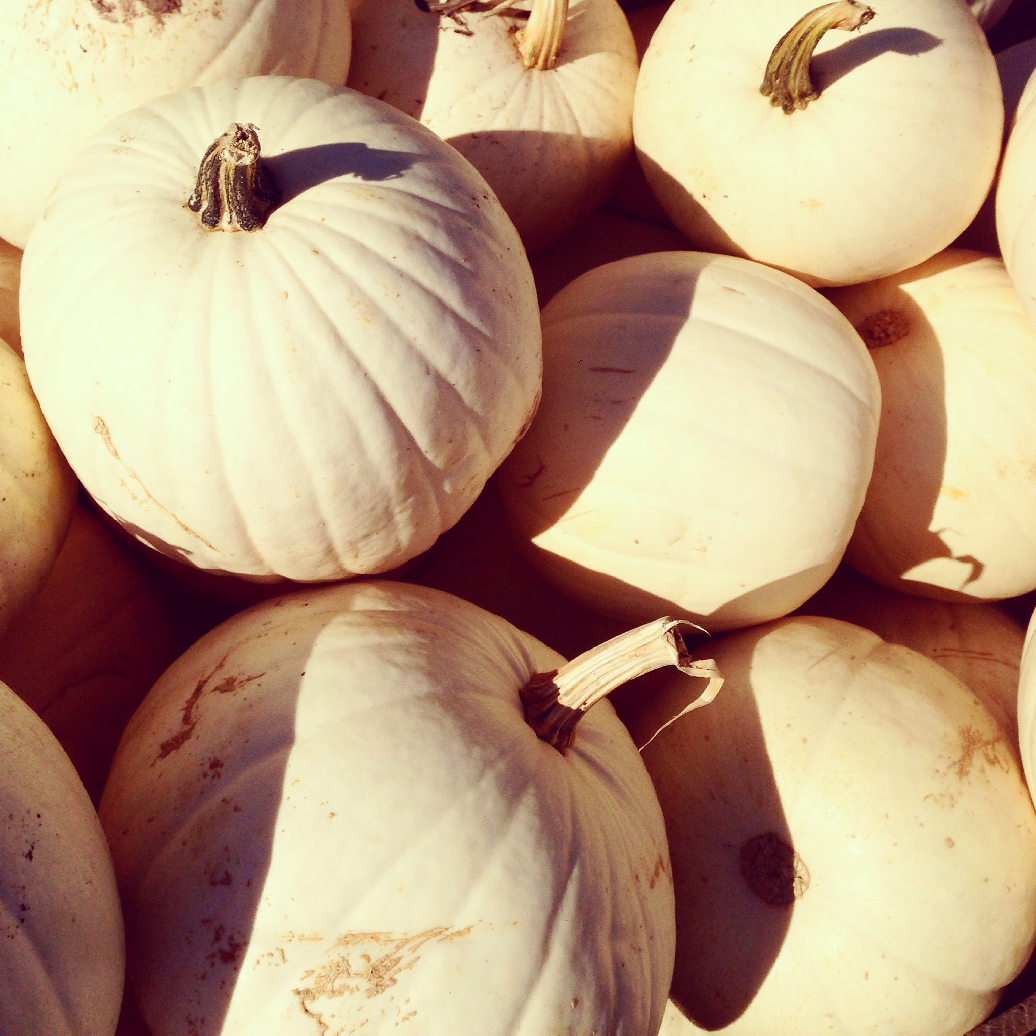 white pumpkins patch